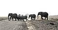 Amboseli elephantparade JF3.jpg