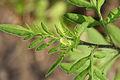 Ambrosia artemisiifolia 9364-65.jpg