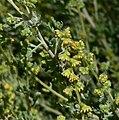 Ambrosia dumosa 6.jpg