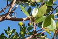 Ameixial - strawberry tree Arbutus unedo fruit (13531775605).jpg