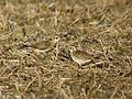 American Golden Plover - Flickr - GregTheBusker.jpg