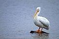 American White Pelican (1).jpg