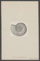 Ammonites parkinsoni - - Print - Iconographia Zoologica - Special Collections University of Amsterdam - UBAINV0274 005 10 0013.tif
