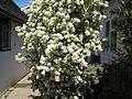 Amomyrtus luma - Flickr - peganum (1).jpg