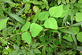 Amphicarpaea bracteata SCA-04701.jpg