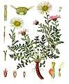 Anacyclus pyrethrum - Köhler–s Medizinal-Pflanzen-011.jpg