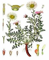 Anacyclus pyrethrum - Köhler–s Medizinal-Pflanzen-011