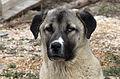 Anatolian Shepherd Dog - Kangal köpeği 02.jpg