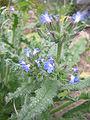 Anchusa arvensis3.jpg