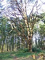 Ancient tree in the Harewarren - geograph.org.uk - 668191.jpg