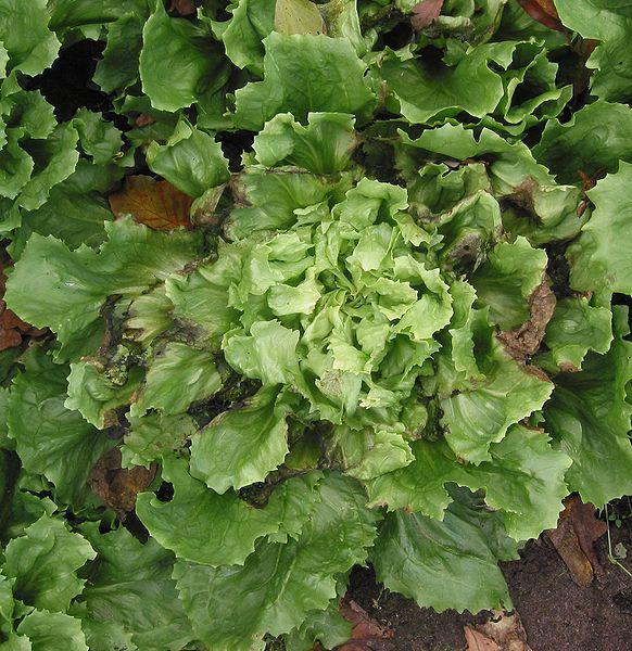 Dosya:Andijvie rand Cichorium endivia.jpg