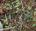 Androsace umbellata 2.jpg