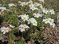 Androsace villosa (28410923767).jpg
