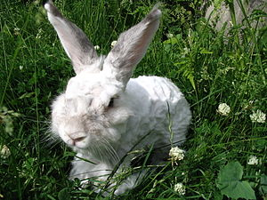 Angora rabbit - Angora rabbit (shaved)