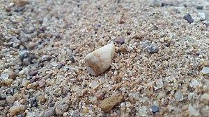 Гравий с зёрнами от 2 до 10 миллиметров на фоне песка и единичной гальки