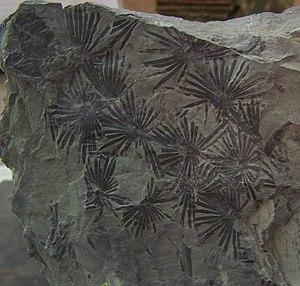 Calamitaceae - Annularia stellata