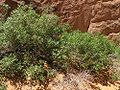 Another bush in Arches NP.jpeg