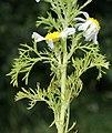 Anthemis cotula leaf (05).jpg