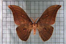 Antheraea yamamai superba.jpg