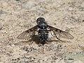 Anthrax binotatus. Bombyliidae (32071453581).jpg