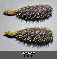 Anthriscus caucalis sl10.jpg