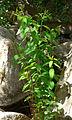 Apocynum cannabinum 1.jpg