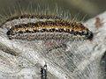 Aporia crataegi (larva) - Black-veined white (caterpillar) - Боярышница (гусеница) (39367012090).jpg