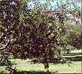 Apple Orchard, Oak Creek Canyon, AZ 7-30-13lk (9479072521).jpg