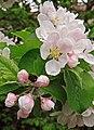 Apple blossom - geograph.org.uk - 416440.jpg