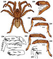 Aptostichus chemehuevi anatomy.jpg