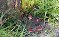 Aquilegia canadensis - Kew Gardens.jpg