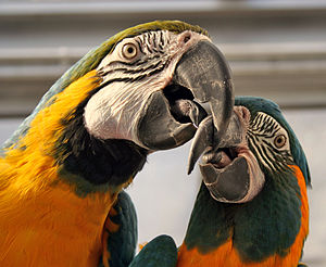 A male Blue-and-Gold Macaw (left) and a female...