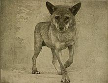https://upload.wikimedia.org/wikipedia/commons/thumb/4/4b/Arabianwolfjackal.jpg/220px-Arabianwolfjackal.jpg