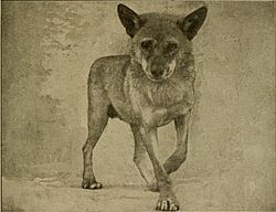 Canis aureus lupaster