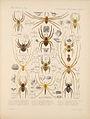 Arachnida Araneidea Vol 1 Table 31.jpg