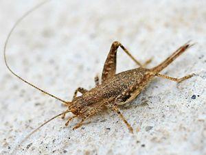 Grylloidea - Arachnocephalus vestitus