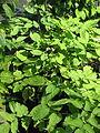 Aralia racemosa? (14477603159).jpg