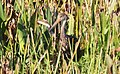 Aramus guarauna (Limpkin) 12.jpg