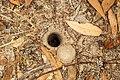Araneae sp. (32630281216).jpg