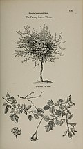 Arboretum et fruticetum britannicum, or - The trees and shrubs of Britain, native and foreign, hardy and half-hardy, pictorially and botanically delineated, and scientifically and popularly described (14783596542).jpg