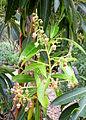Arbutus canariensis kz2.JPG