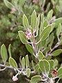Arctostaphylos pungens (Ericaceae) - Pingüica.jpg