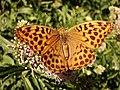 Argynnis paphia (9239778241).jpg