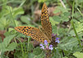 Argynnis paphia - Cengaver 07.jpg
