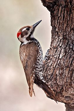 Arizona Woodpecker.jpg