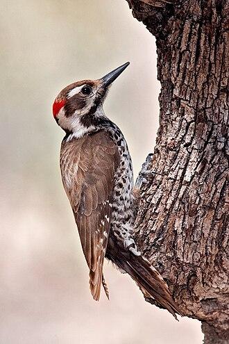 Arizona woodpecker - Image: Arizona Woodpecker