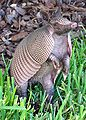 Armadillo-Florida-crop-2009.jpg