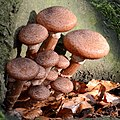 Armillaria ostoyae (sombere honingzwam) at the foot of a beechtree - panoramio.jpg