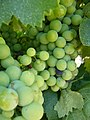 Around Azillanet grapes (987841699).jpg