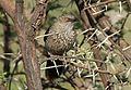 Arrow-marked Babbler, Turdoides jardineii, at Pilanesberg National Park, Northwest Province, South Africa (28054604714).jpg